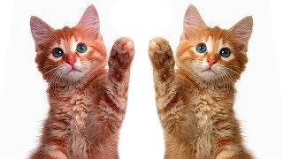 видео Две кошки в доме: как подружить