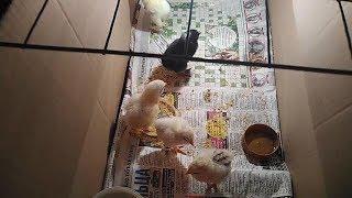 Ошибки инкубации куриных яиц.