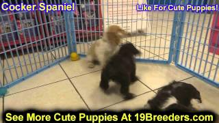 Cocker Spaniel, Puppies, For, Sale, In, Portland, Oregon, Or, Mcminnville, Oregon City, Grants Pass,