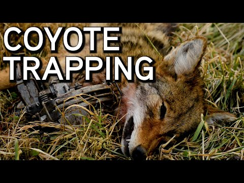What To Do When You Catch A Coyote
