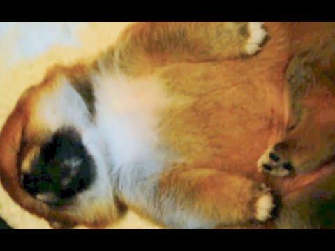 Shiba Inu Baby Sleeping! Super Cute