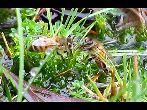 More Bees on Moss, (in the rain)