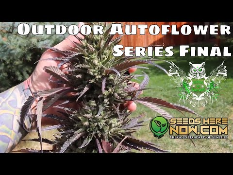 Outdoor Mephisto Autoflower Seed to Harvest Series Final