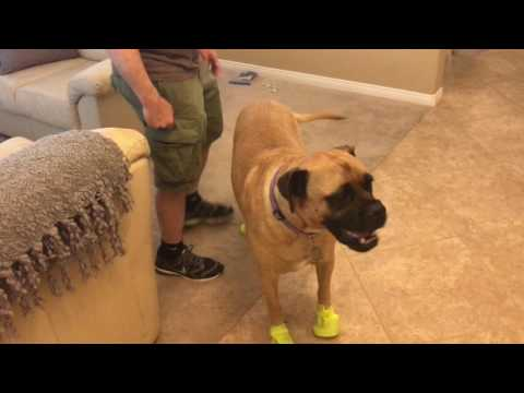 Dog Boot Testing by Vin