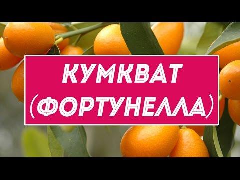 Кумкват или фортунелла – экзотические фрукты, похожие на мелкие апельсины