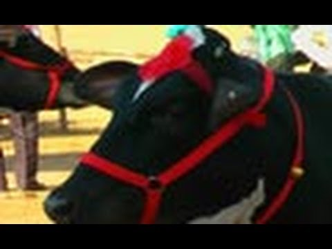 Best Cow Competition, Pushkar Fair
