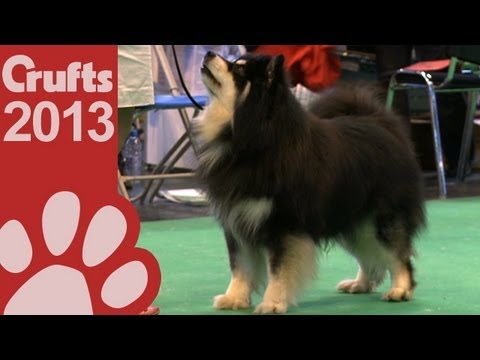 Finnish Lapphund - Best of Breed - Crufts 2013
