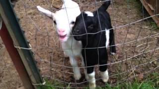 Cute baby goats.  Смешные маленькие козлята.