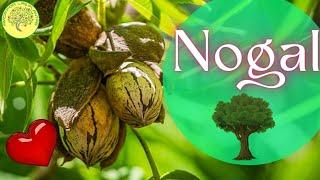 Como germinar semilla de nogal (nuez pecan)