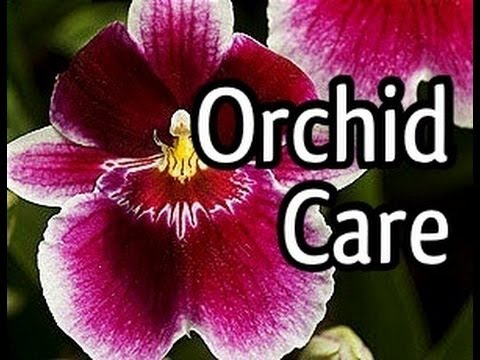 Miltoniopsis Orchid Care And How To Bloom Your Orchid
