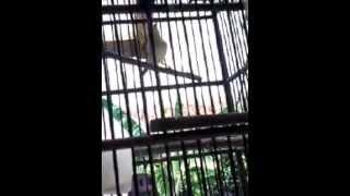 ocehan burung pleci dada kuning atau dakun