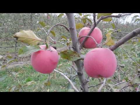 Сорт яблони Фуджи Кику-8. Новый перспективный сорт.