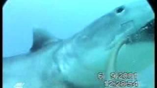 タイガーシャーク(イタチザメ) by Australian Institute of Marine Science