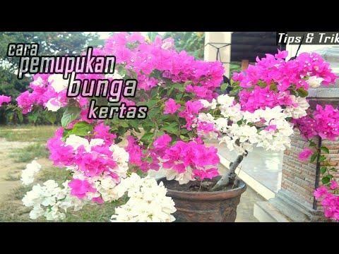 Cara Memupuk Bunga Kertas Agar Berbunga Lebat Youtube