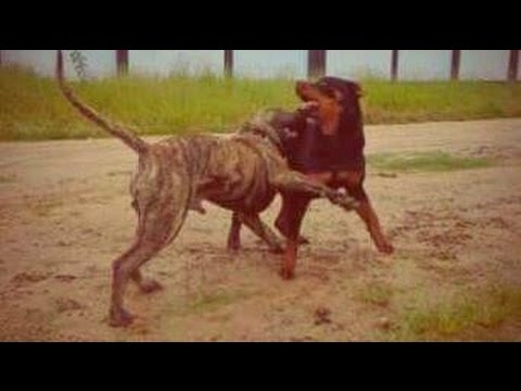 rottweiler-vs-presa-canario---supreme-fighters