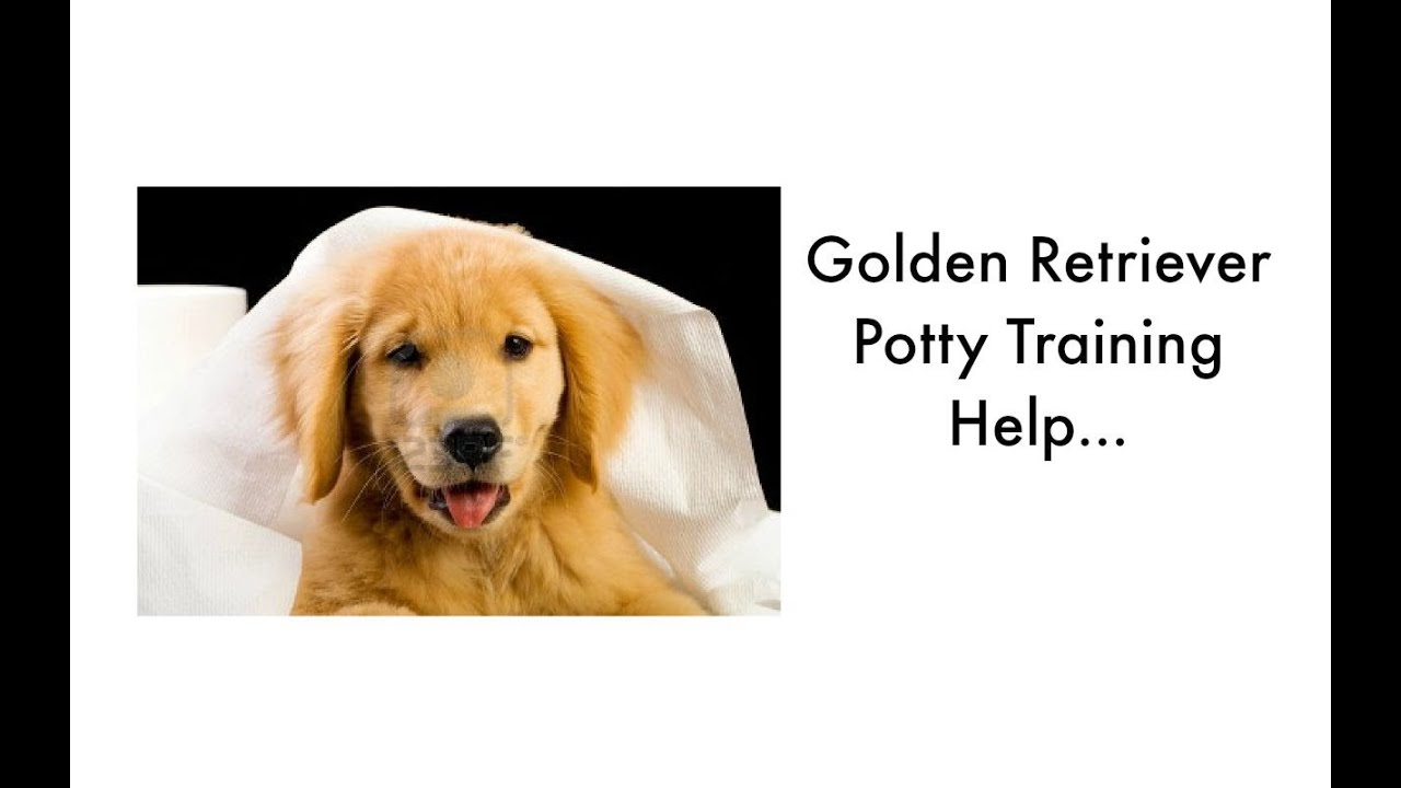 potty training your golden retriever puppy. golden retriever
