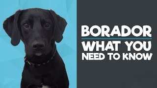 Borador Breed - What you need to know!