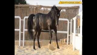 Cavallo - Adriano Pappalardo