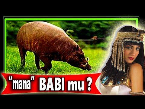 Cara Budidaya Ternak babi Cepat Besar gemuk dan Sehat bag.3