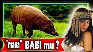 Cara Budidaya Ternak babi Cepat Besar dan Sehat bag.3