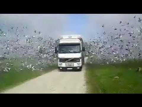 Thousands of Birds Flying Out of Truck