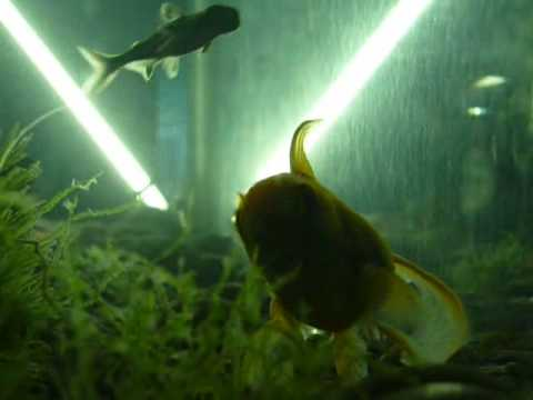 Aquarium 4 poisson rouge guppy requin 1 youtube for Alimentation guppy poisson rouge