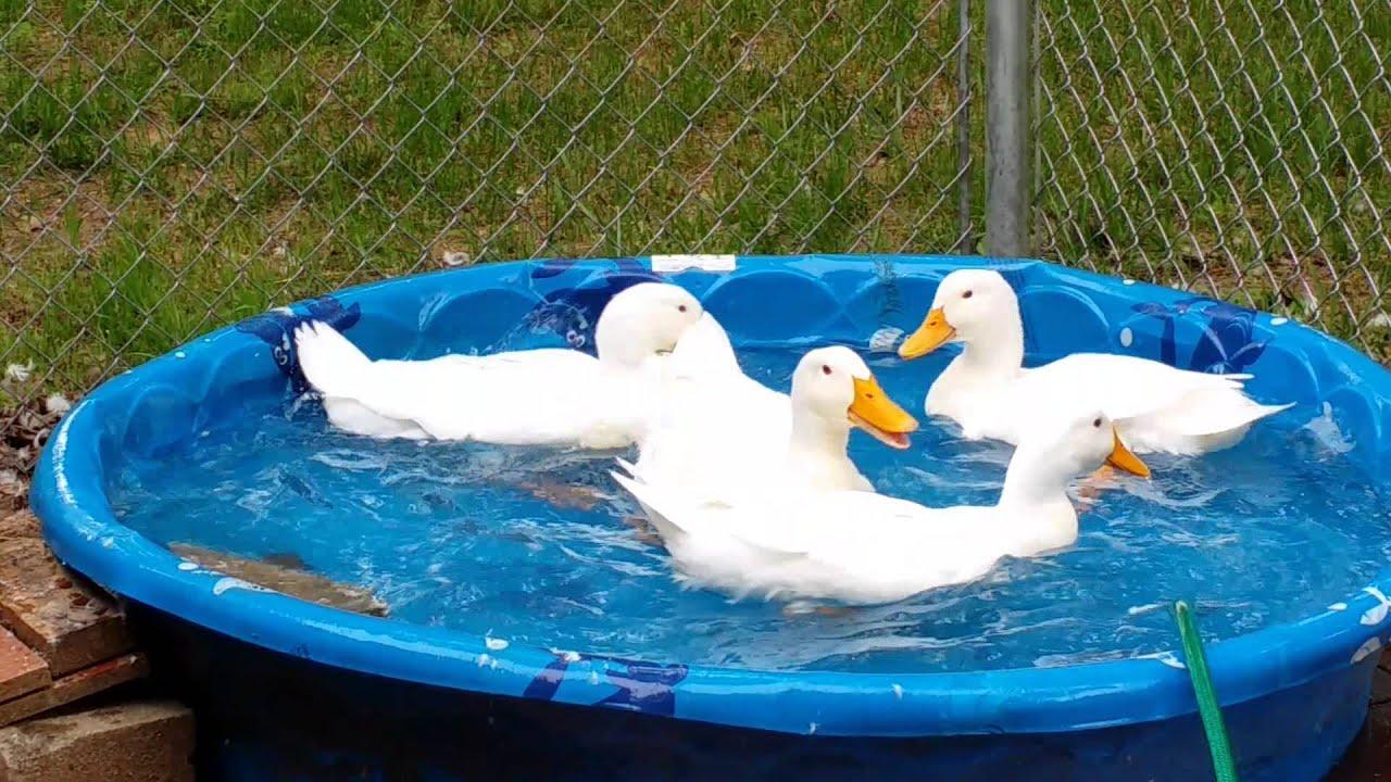 Pekin Ducks Swimming - YouTube