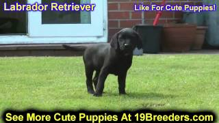 Labrador Retriever, Puppies, For, Sale, In, Columbus, Ohio, Oh, North Ridgeville, Mason, Bowling Gre