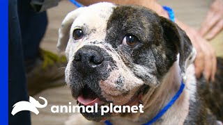 Rescued Puppy Mill Breeder Gets Her Leg Fixed | Dr. Jeff: Rocky Mountain Vet