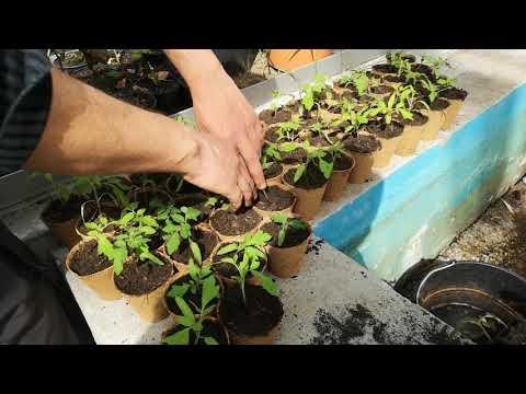 Anleitung: Tomatenpflanzen sinnvoll aufstellen