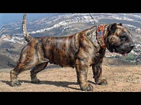 7 stärksten Hunderassen