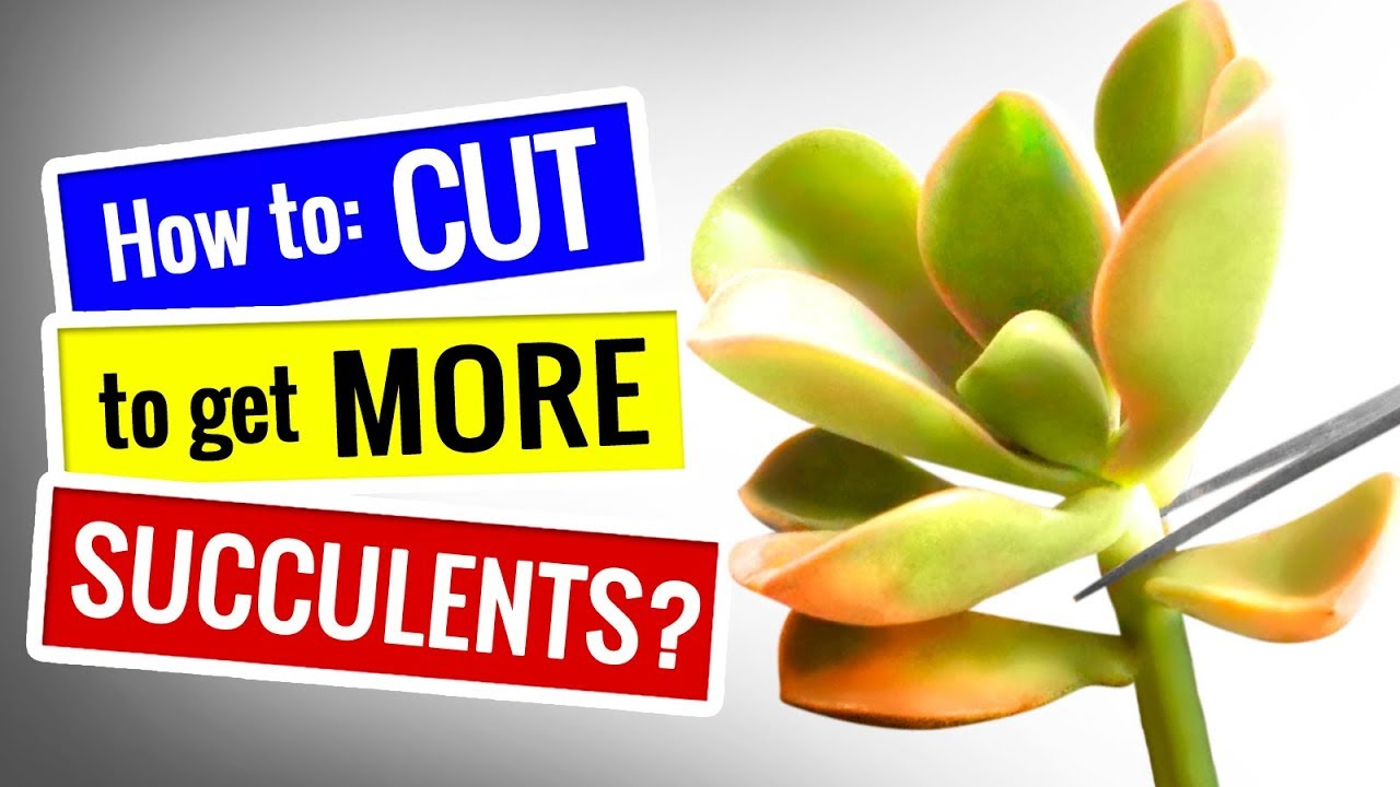 How To Prune Succulents To Get More Pups Succulents For