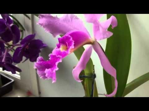 Почему не цветет орхидея, хотя её листья растут?