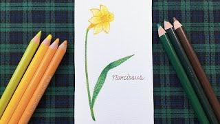 수선화   색연필 손그림 일러스트 드로잉 아트   dr…