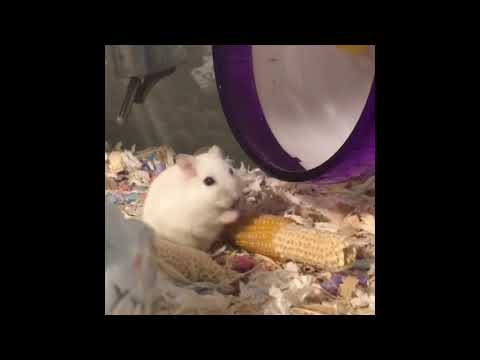 brown thing in mouth - Ailments & Injuries - Hamster Hideout