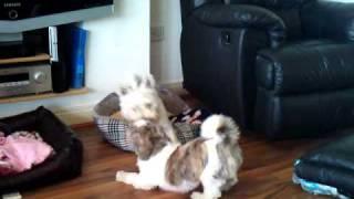 Westie Polly Loves Shitzu Piper