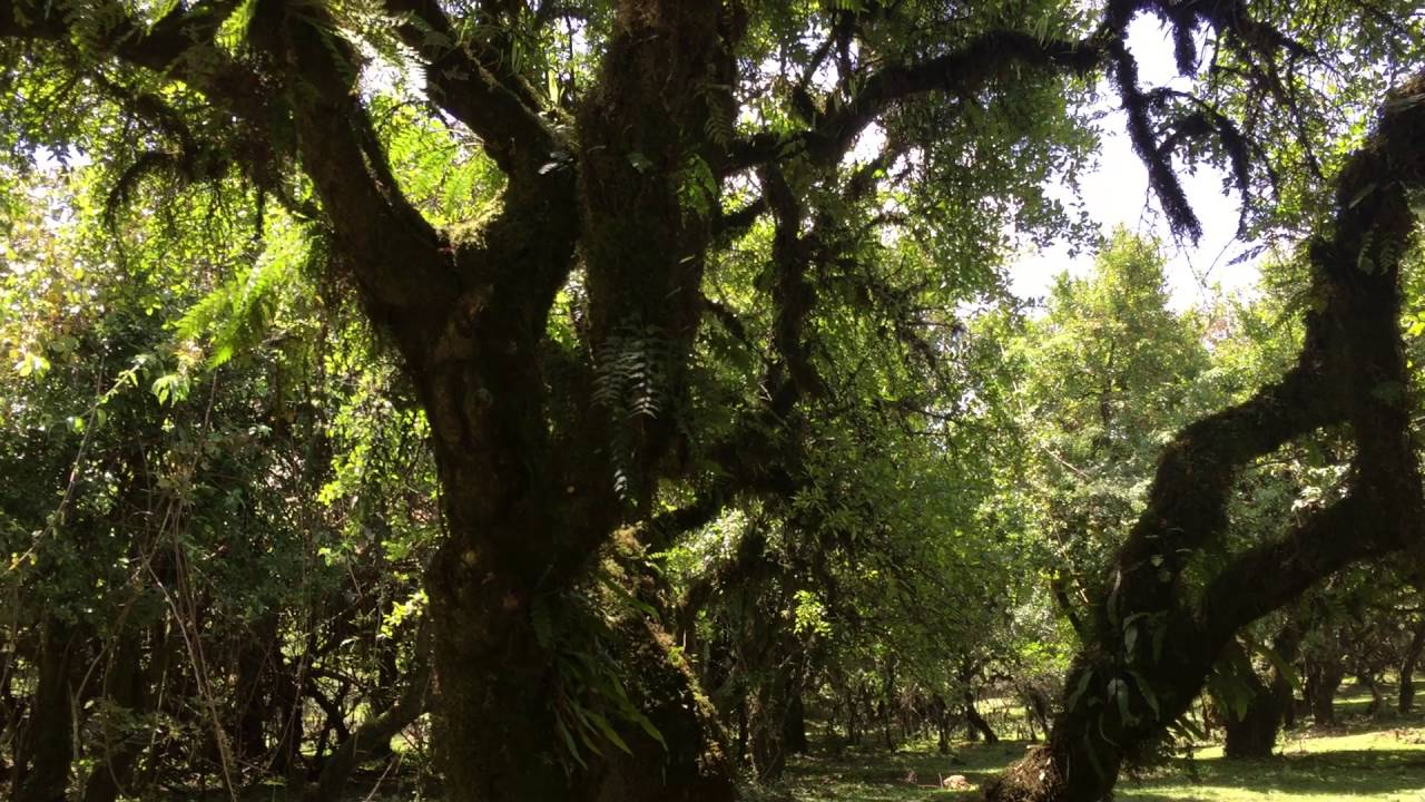 Last Remains of Primary Forest in Choke Mountains, Ethiopia!