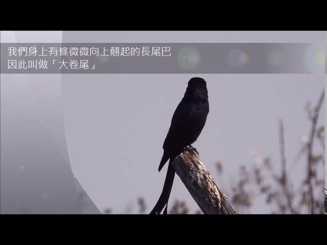 茄萣濕地樹上淘寶--大捲尾-烏秋Taobao on top of trees in Qieding Wetlands – The Black Drongo