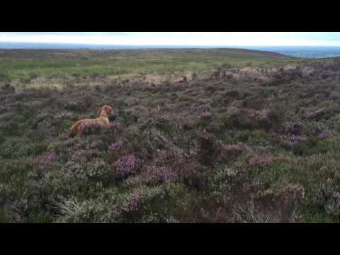 Wirehaired vizsla 15 months old Zoldmali Extreme's first day at the grouse moors