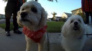 havachon havanese ハバニーズ silk dog ワンコ toy poodle maltipoo po...