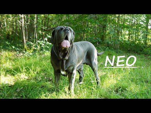 Neapolitan Mastiff Pack Dad Neo and Son Junior Walk