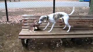 ベンチで休んでいたら、ウィペットのテキーラに襲われたが必死に抵抗し...