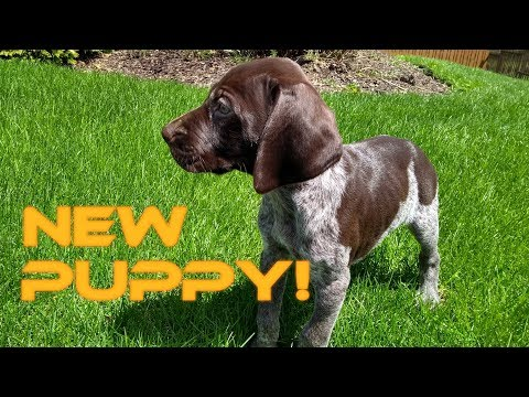 New Puppy!  Introducing Sawyer the GSP