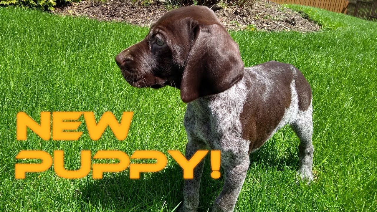 New Puppy Introducing Sawyer The Gsp Youtube