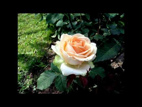 Чайная роза выращивание и уход