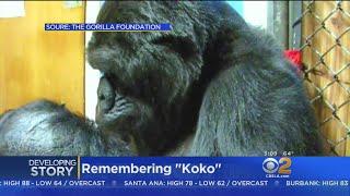 Baixar Koko, Famous Signing Gorilla, Dies At 46