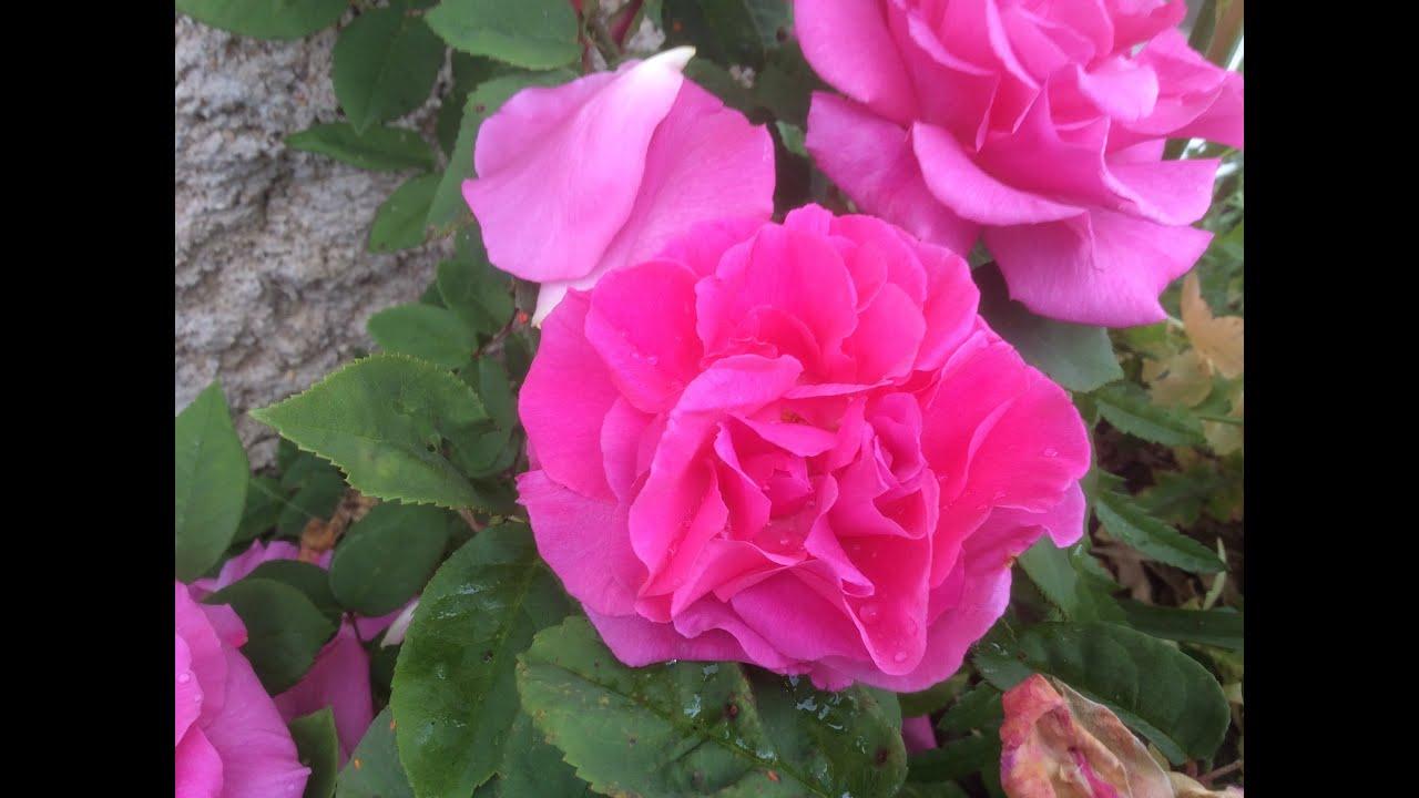 Zephirine Drouhin Climbing Rose roses 'zéphirine drouhin' l'esprit du parfum - youtube