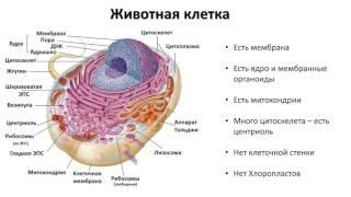 6. Строение клетки органоиды (9 класс) биология, подготовка к ЕГЭ и ОГЭ