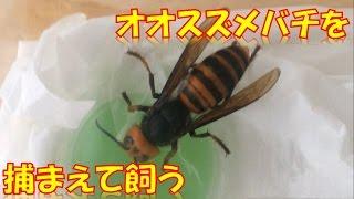 オオスズメバチを飼ってみたくなったので、樹液に飛んできた個体を捕ま...