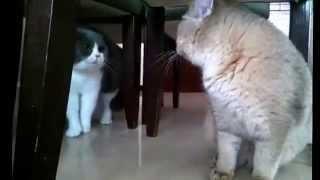Коты орут друг на друга